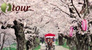 Du lịch Nhật Bản - Lễ hội hoa anh đào 5 ngày