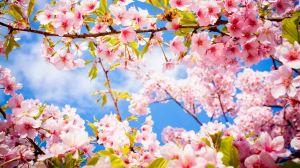 Du lịch Nhật Bản mùa hoa Anh Đào: Tokyo - Núi Phú Sỹ - Hakone - Kyoto - Osaka - Kobe, 7 ngày